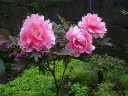 牡丹03.JPG